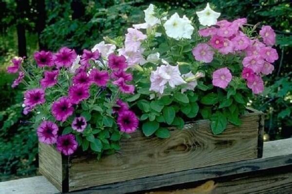 Petúnias coloridas cultivadas em floreiras de madeira