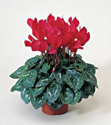 Flores vermelhas ciclame