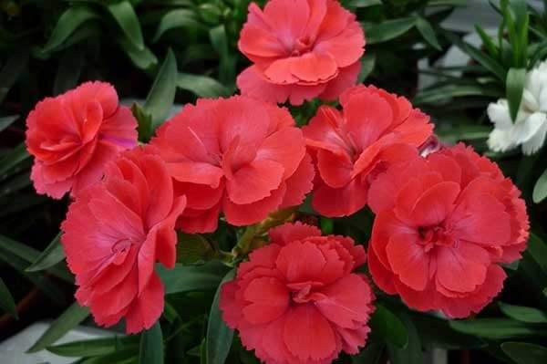 Cravina vermelha, as flores vermelhas miniatura do cravo