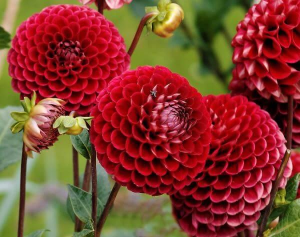 flores vermelhas Dália