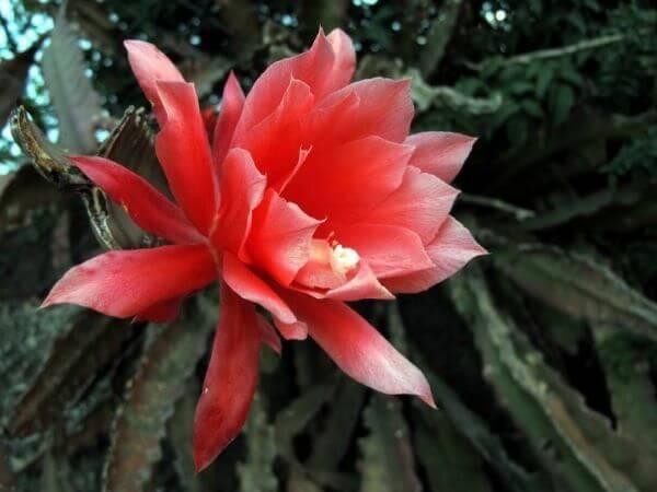 Flor dama da noiva vermelha
