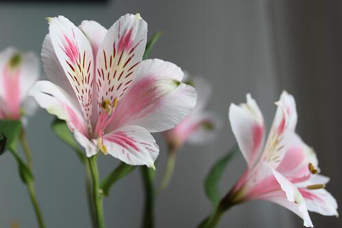 Flor astromélia com rosa e branco