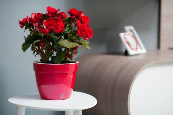 flores vermelhas begônia