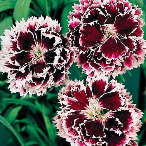 Flores vermelhas cravina