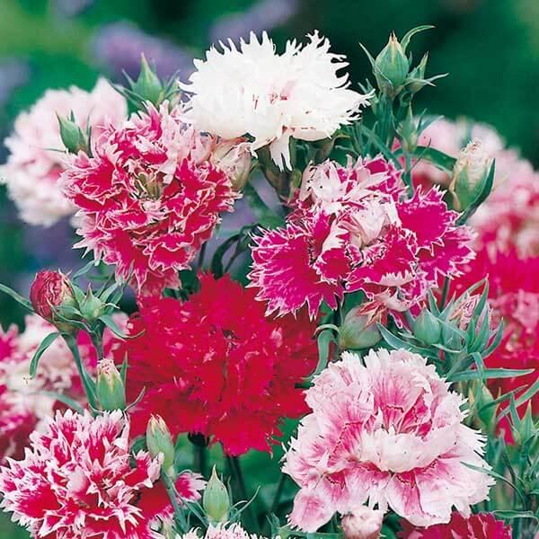 Flores vermelhas de cravina