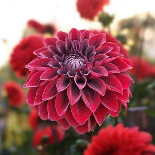 Flores vermelhas para usar no jardim