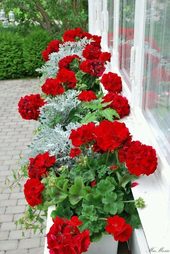 Flores vermelhas no jardim com cravo