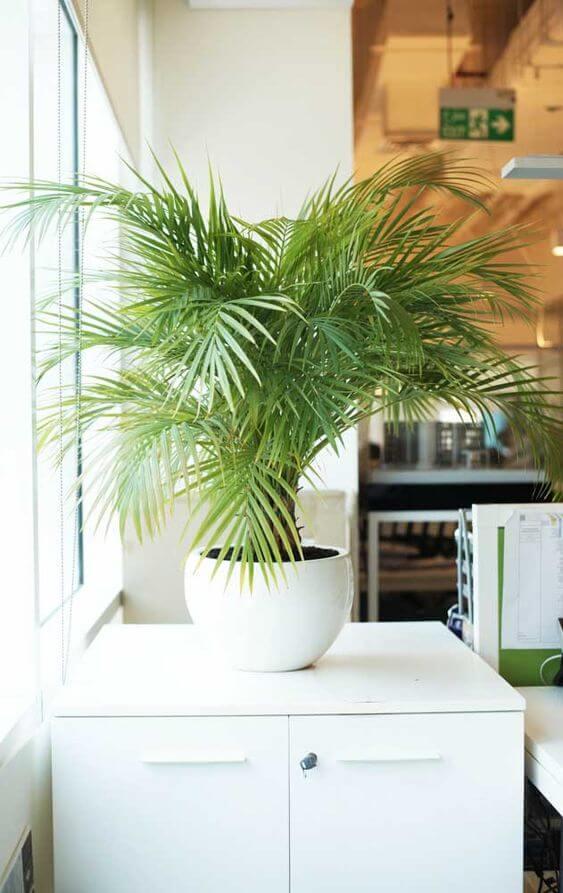 Plantas de sombra palmeira