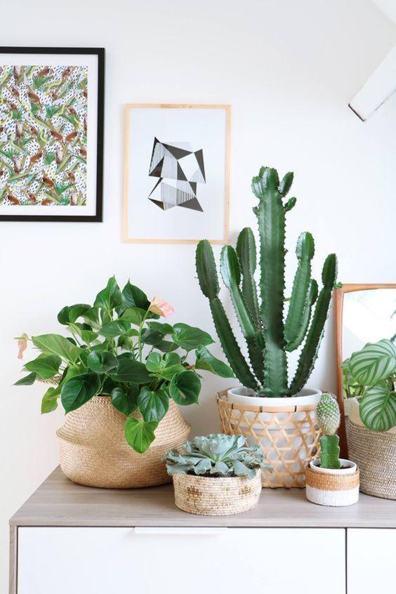 Plantas de sombra para casa com cactos