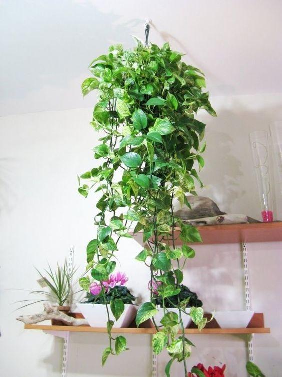 Plantas de sombra suspensa para decoração