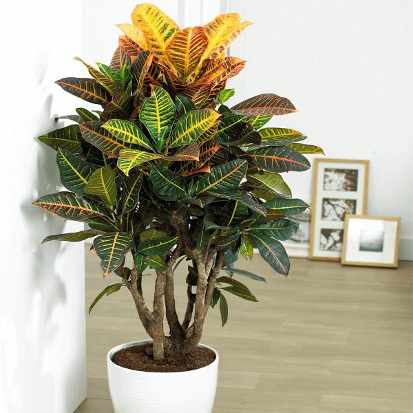 Plantas de sombra para decoração de casa Croton