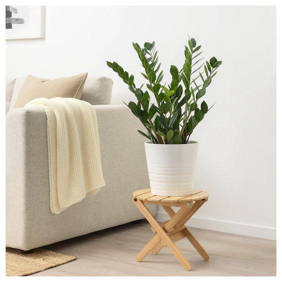 Plantas de sombra para decoração de casa: Zamioculca