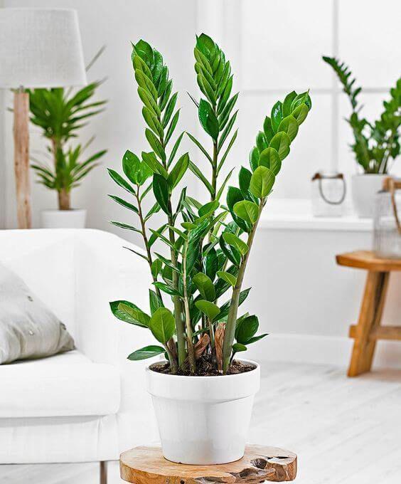Plantas de sombra para casa: Zamioculca