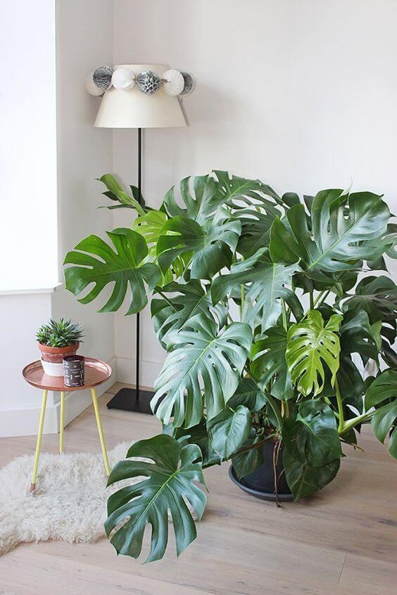 Plantas de sombra costela de adão