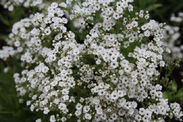 Flor mosquitinho natural