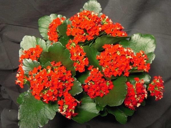 A Kalanchoe é uma das plantas suculentas com flores
