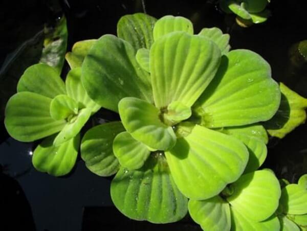 A alface d´água é uma das plantas para aquário que pode ser utilizada no seu tanque