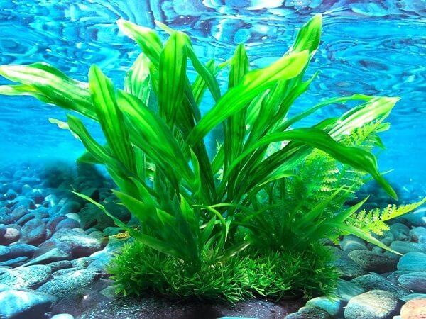 A amazonense é uma espécie de planta para aquário