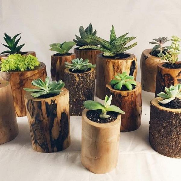 Como plantar sementes de suculentas e cactos em tocos de madeira