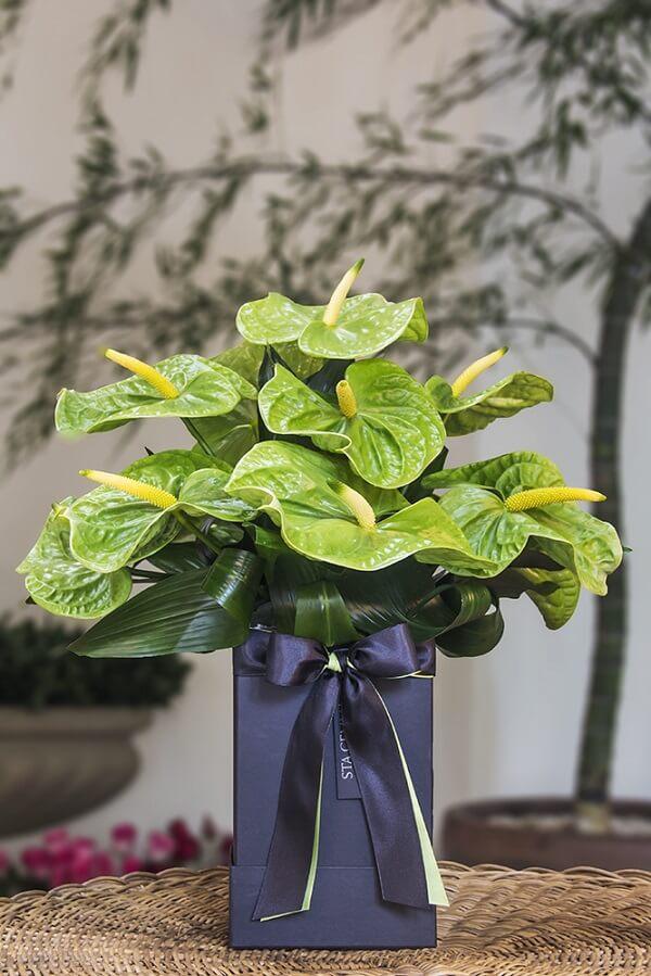 Flores tropicais Antúrios verde
