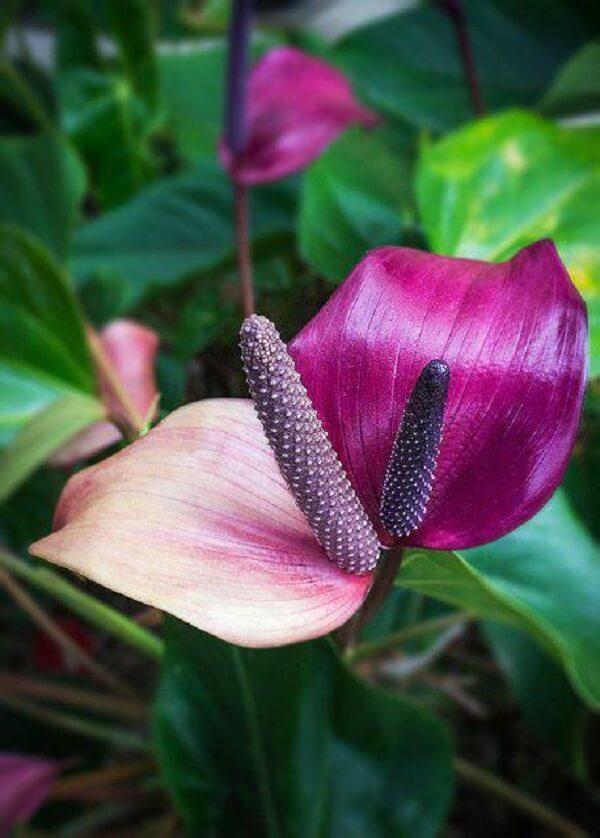 Flores tropicais antúrios roxo