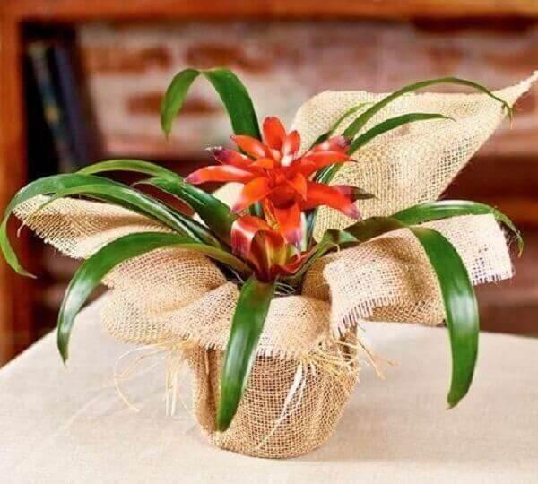 Flores tropicais bromélia vermelha em vaso