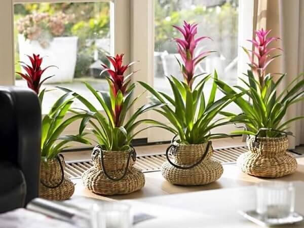 Flores tropicais bromélias em vasos