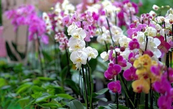 Flores tropicais jardim de orquídeas