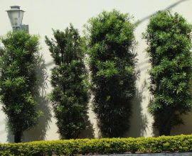planta-podocarpo-capa