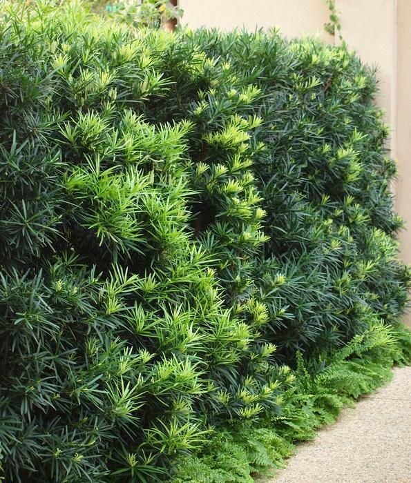 Jardim com podocarpo