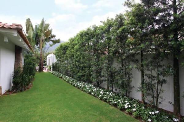 Cerca de podocarpo muro