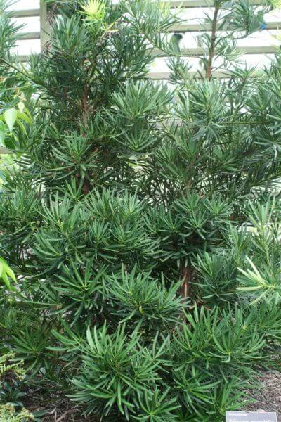 Planta podocarpo no jardim