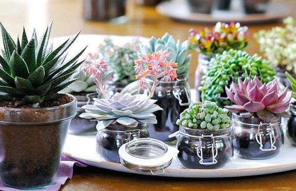 Plantas suculentas como cuidar em recipientes de vidros