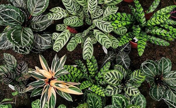 Cultive diferentes tipos de marantas no seu jardim