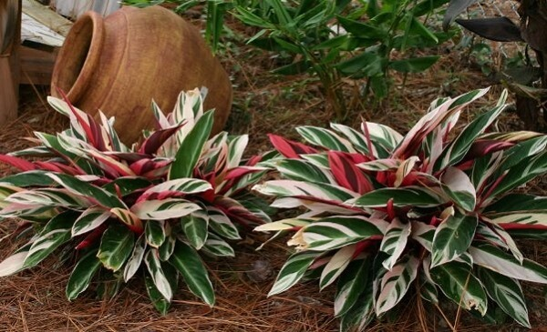 Maranta tricolor cultivada no jardim