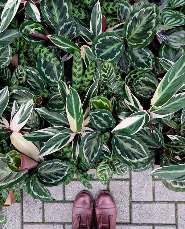 O crescimento das folhas da maranta pode chegar até 1 metro