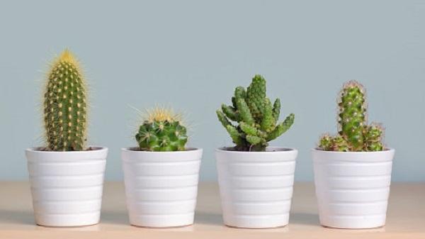Vasos para suculentas cactos