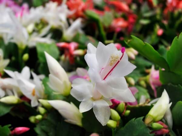 flor de maio branca