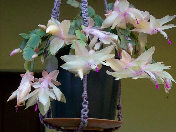 flor de maio branca vaso suspenso