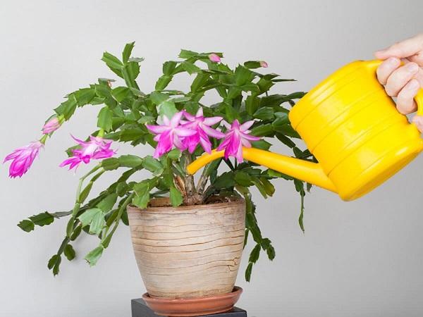 flor de maio roxa vaso