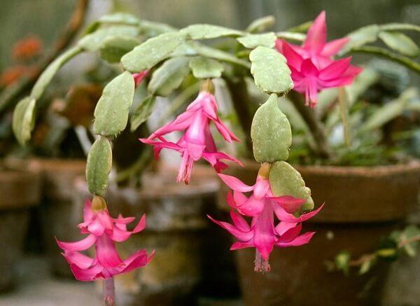 flor de maio rosa em vaso