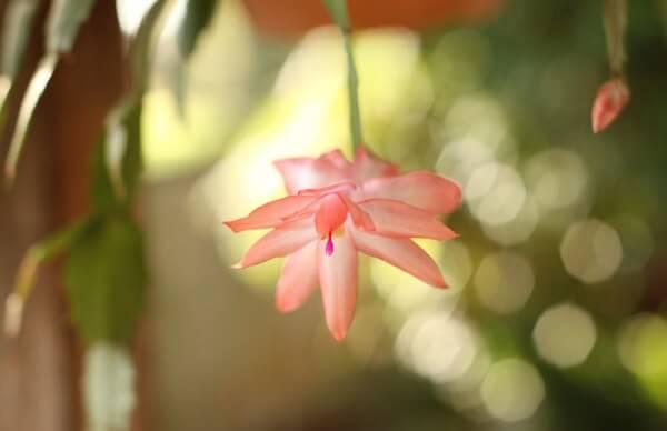 flor de maio salmão