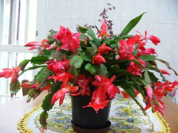 flor de maio vermelha em vaso
