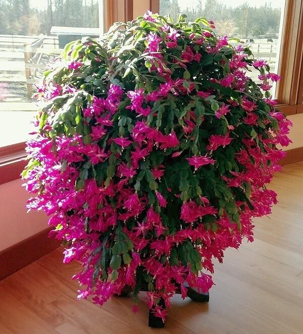 flor de maio varias rosa