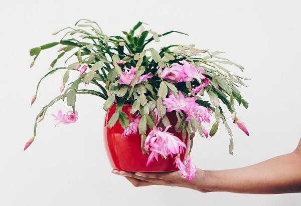 flor de maio vaso vermelho