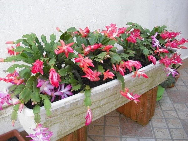flores de maio em floreira