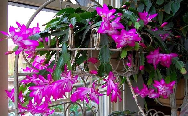 flores de maio roxa