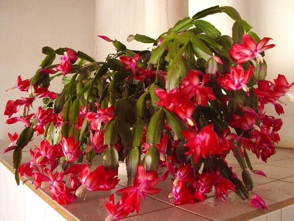 flores de maio vermelha