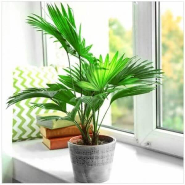 Palmeira leque na sala de estar