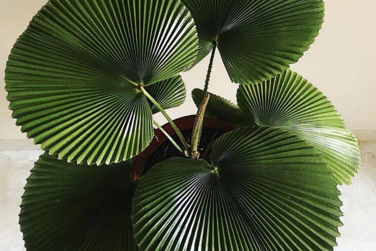 palmeira-leque-capa